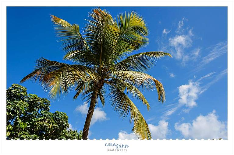 palm tree on lime tree beach in st thomas