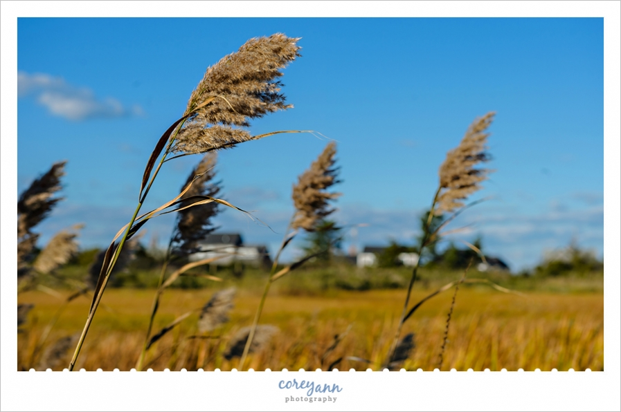 Nantucket Sea Oats