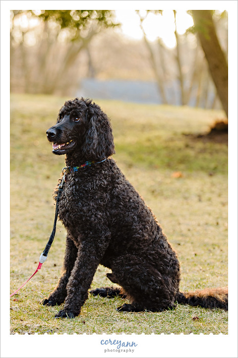 Black Standard Poodle in Canton Ohio